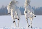 white horses 150