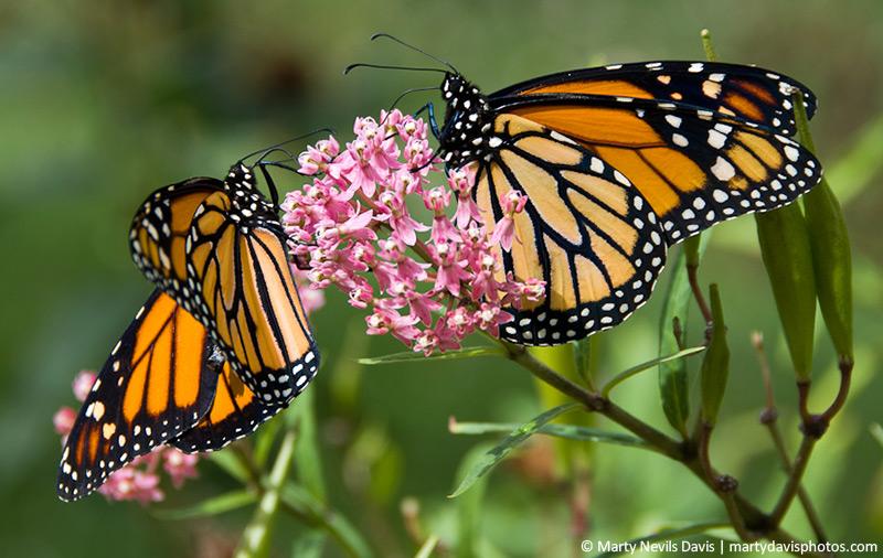 Monarchs_milkweed_8162w